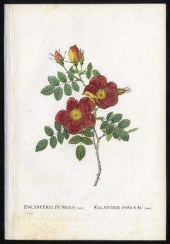 Austrian Copper Rose by Redoute - Les Roses - Handcoloured engraving - 19th c.