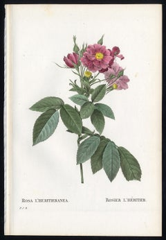 Boursault Rose by Redoute - Les Roses - Handcoloured engraving - 19th century