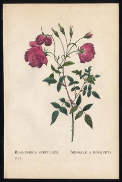 China Rose by Redoute - Les Roses - Handcoloured engraving - 19th century