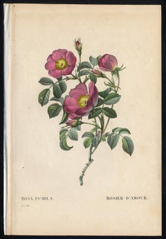 Creeping French Rose by Redoute - Handcoloured engraving - 19th century