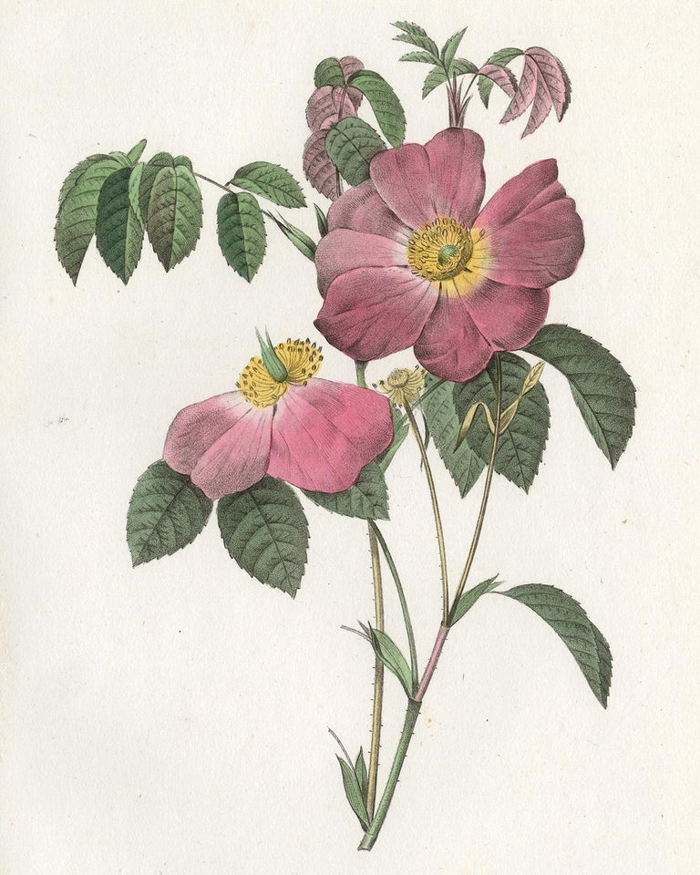 French Rose by Redoute - Les Roses - Handcoloured engraving - 19th century - Print by Pierre-Joseph Redouté