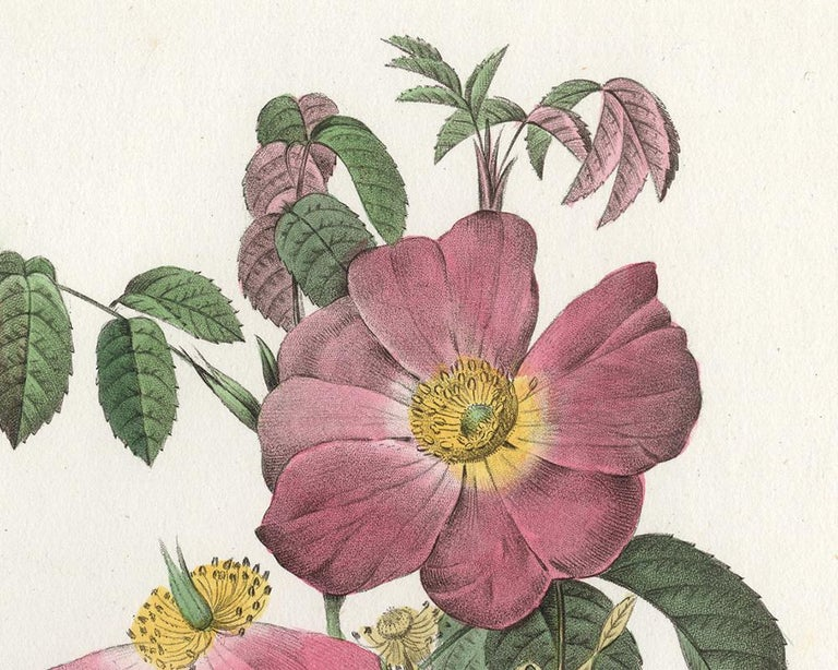 French Rose by Redoute - Les Roses - Handcoloured engraving - 19th century - Old Masters Print by Pierre-Joseph Redouté