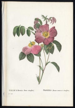 French Rose by Redoute - Les Roses - Handcoloured engraving - 19th century