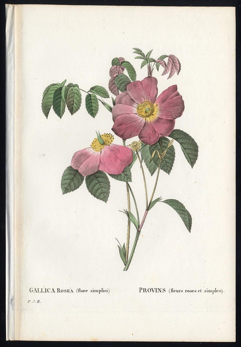 Pierre-Joseph Redouté Print - French Rose by Redoute - Les Roses - Handcoloured engraving - 19th century