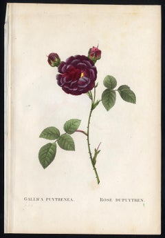 Gallica Puytrenea by Redoute - Les Roses - Handcoloured engraving - 19th century