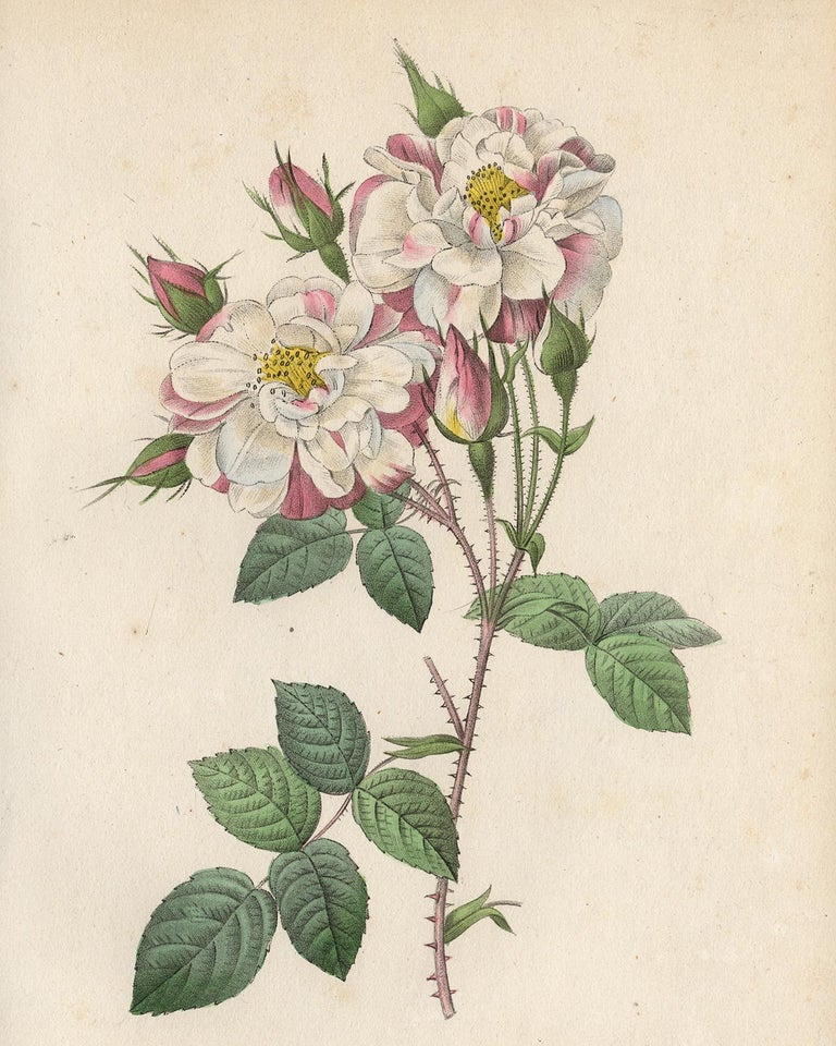 Lancaster Rose by Redoute - Les Roses - Handcoloured engraving - 19th century - Print by Pierre-Joseph Redouté