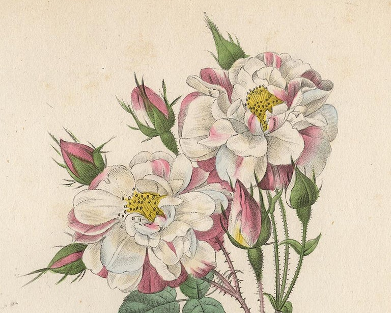 Lancaster Rose by Redoute - Les Roses - Handcoloured engraving - 19th century - Old Masters Print by Pierre-Joseph Redouté