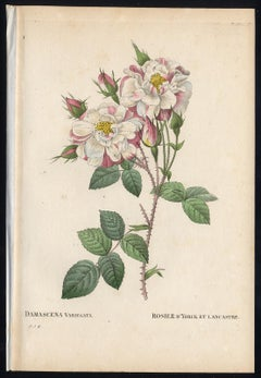Lancaster Rose by Redoute - Les Roses - Handcoloured engraving - 19th century