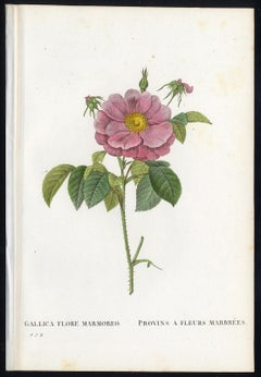 Marbled French Rose by Redoute - Handcoloured engraving - 19th century