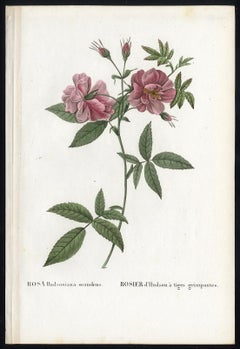 Marsh Rose by Redoute - Les Roses - Handcoloured engraving - 19th century