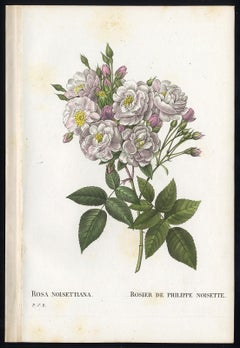 Noisette Rose by Redoute - Les Roses - Handcoloured engraving - 19th century