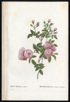 Rambling Rose by Redoute - Les Roses - Handcoloured engraving - 19th century