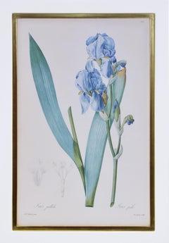 REDOUTÉ. Group of Twelve Irises