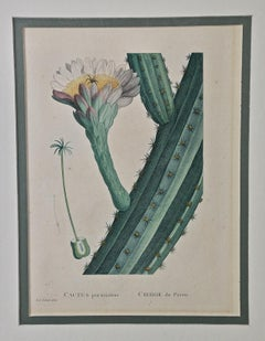 "Redoute Hand Colored Engraving of Cactus Flowers ""Cactus Peruvianus Cierge"""