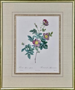 """Redoute Hand Colored Engraving """"Rosa Alpina"""" from Les Roses"""