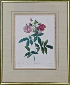 """Redoute Hand Colored Engraving """"Rosa Budsoniana"""" from Les Roses"""