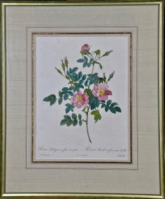 """Redoute Hand Colored Engraving """"Rosa Rubiginosa Flore Semi-Pleno"""" from Les Roses"""