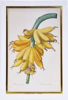 Redoute, Musa Paradisiaca, Banana, hand coloured, stipple-engraved