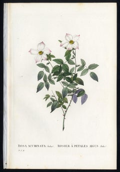 Rosa Acuminata by Redoute - Les Roses - Handcoloured engraving - 19th century