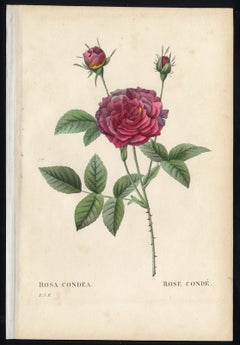 Rosa Condea by Redoute - Les Roses - Handcoloured engraving - 19th century