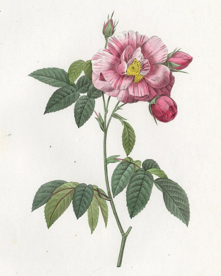 Rosa Mundi - Gallica Versicolor by Redoute - Handcoloured engraving - 19th c. For Sale 1