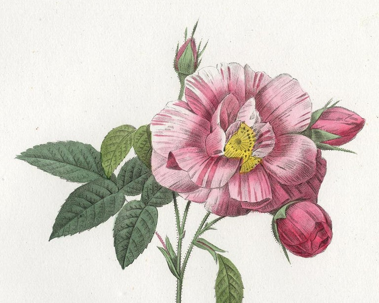 Rosa Mundi - Gallica Versicolor by Redoute - Handcoloured engraving - 19th c. - Old Masters Print by Pierre-Joseph Redouté