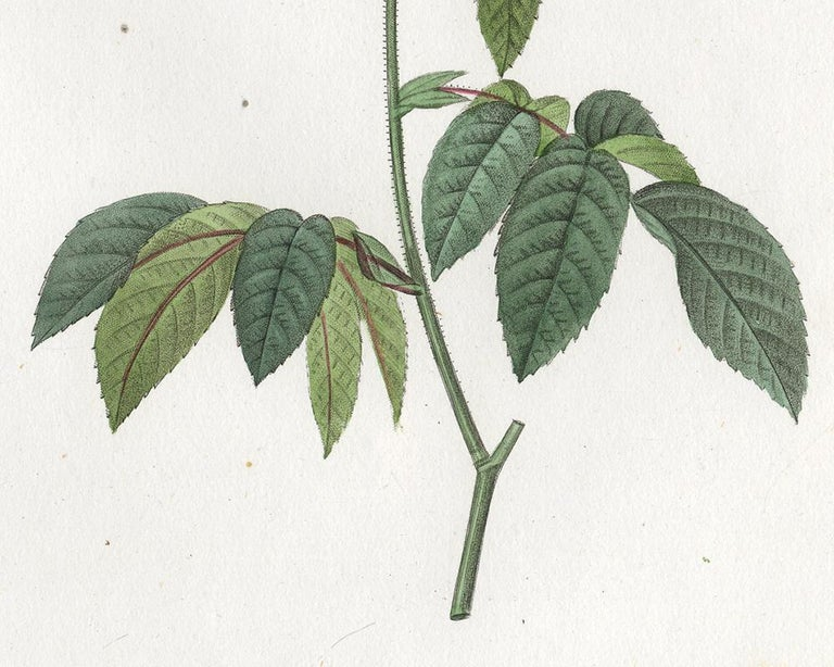 Rosa Mundi - Gallica Versicolor by Redoute - Handcoloured engraving - 19th c. For Sale 3