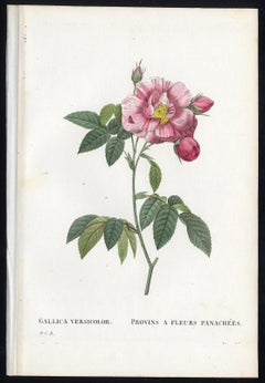 Rosa Mundi - Gallica Versicolor by Redoute - Handcoloured engraving - 19th c.