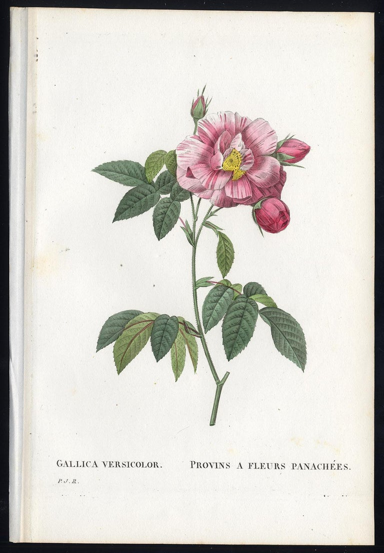 Subject: Original botanical print from volume 2 plate number 61. The title is: 'Provins a Fleurs Panachees' / 'Gallica Versicolor'.  Description:  This plate originates from the third (second octavo) edition of Les Roses by Redoute and Thory. This