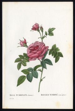 Rosa Turbinata by Redoute - Les Roses - Handcoloured engraving - 19th century