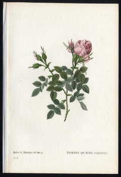 Small Autumn Damask Rose by Redoute - Handcoloured engraving - 19th century