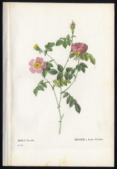 Tomentose Rose by Redoute - Les Roses - Handcoloured engraving - 19th century