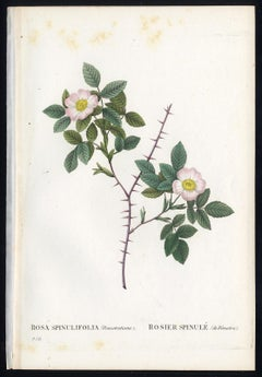 White Alpine Rose by Redoute - Les Roses - Handcoloured engraving - 19th century