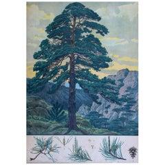 Pine, Rare Vintage Botanical Wallchart