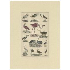 Pl. 37 Antique Print of Various Birds by Fullarton, circa 1852