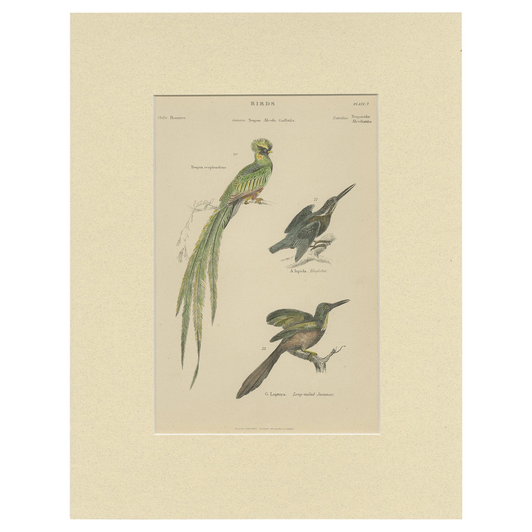 Pl. 7 Antique Print of Various Birds by Richardson 'circa 1860'