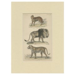 Pl. 8 Antique Print of a Jackal, Lion and Tiger by Richardson, circa 1860