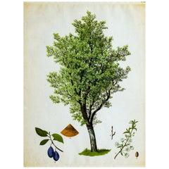 Plum, Rare Vintage Botanical Wallchart