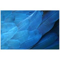 Plumas Azules - Guacamaya