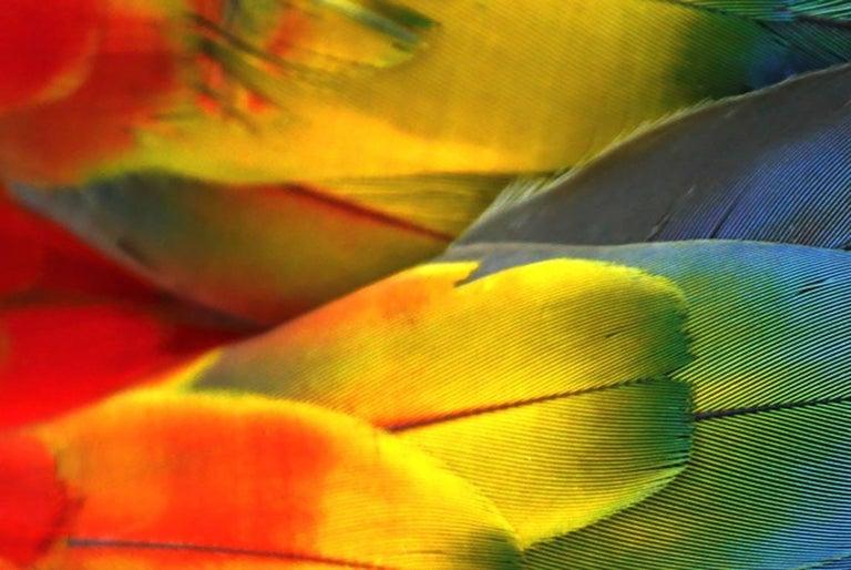 American Plumas Colores - Guacamaya For Sale
