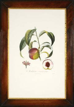 POITEAU/TURPIN. Traité des arbres fruitiers: A Set of Four Peaches