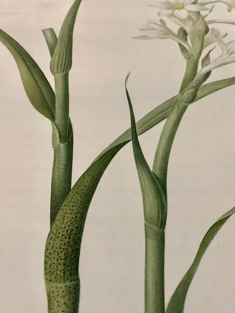 Polianthes Tuberosa Hand Colored Engraving Signed P.J. Redoute For Sale 3