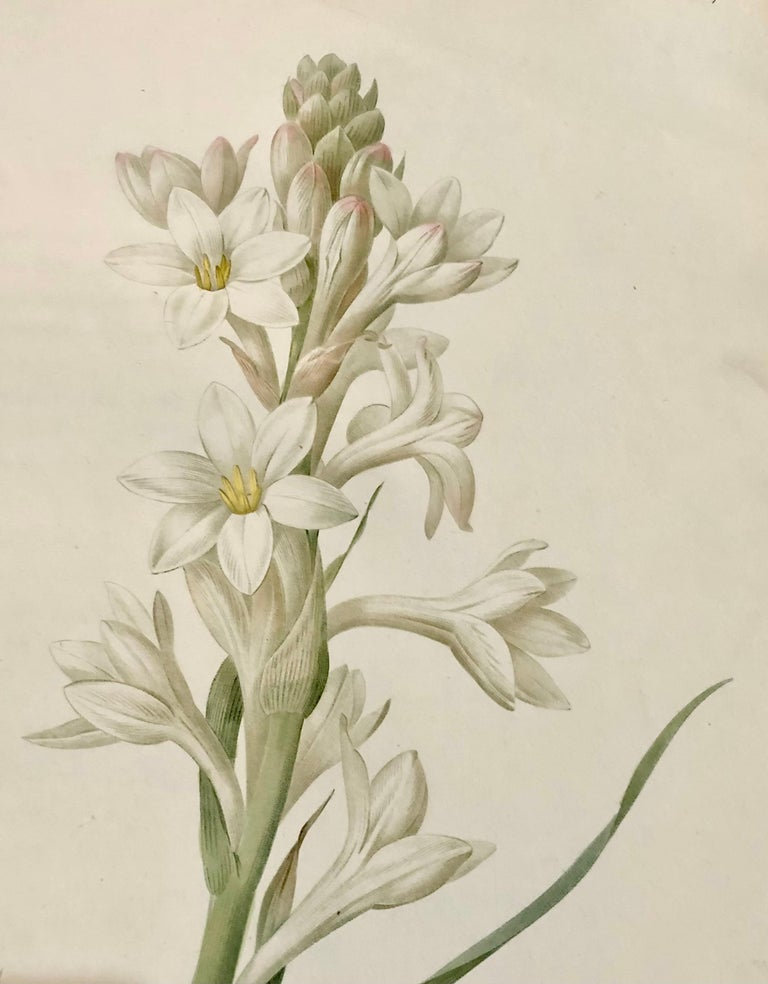 19th Century Polianthes Tuberosa Hand Colored Engraving Signed P.J. Redoute For Sale