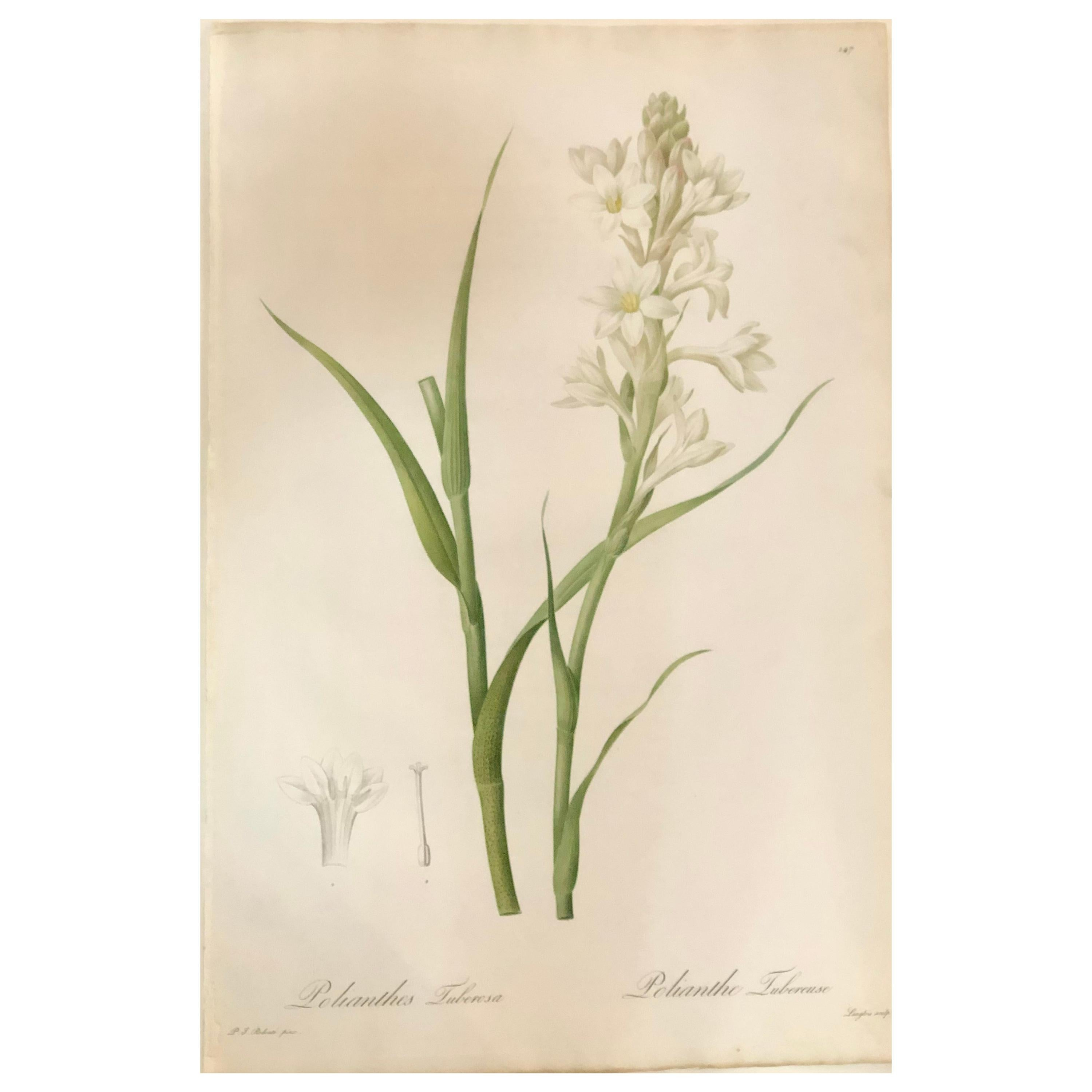 Polianthes Tuberosa Hand Colored Engraving Signed P.J. Redoute