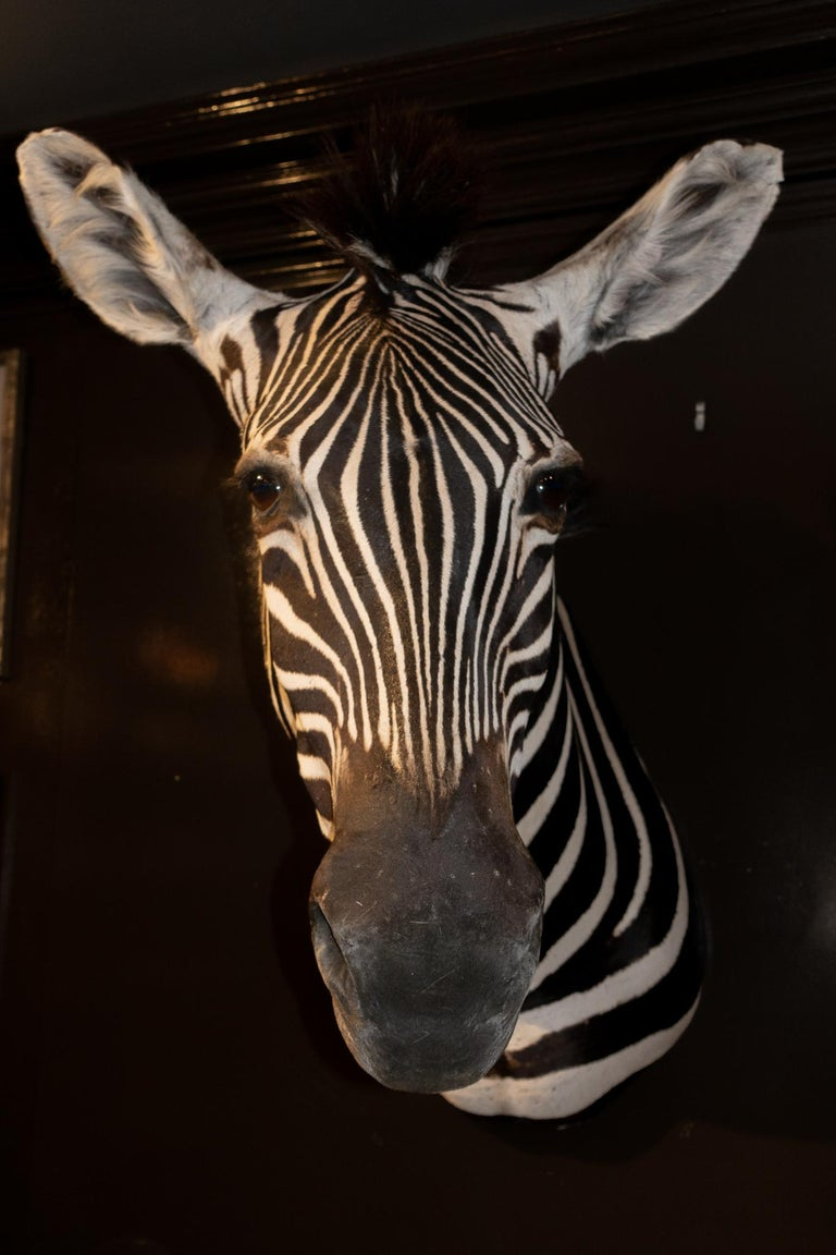 Premier quality shoulder mounts taxidermied Burchell's Zebra (Equus quagga burchellii) from South Africa. Burchell's zebra is a southern African subspecies of the plains zebra. It was named after the British explorer and naturalist William John