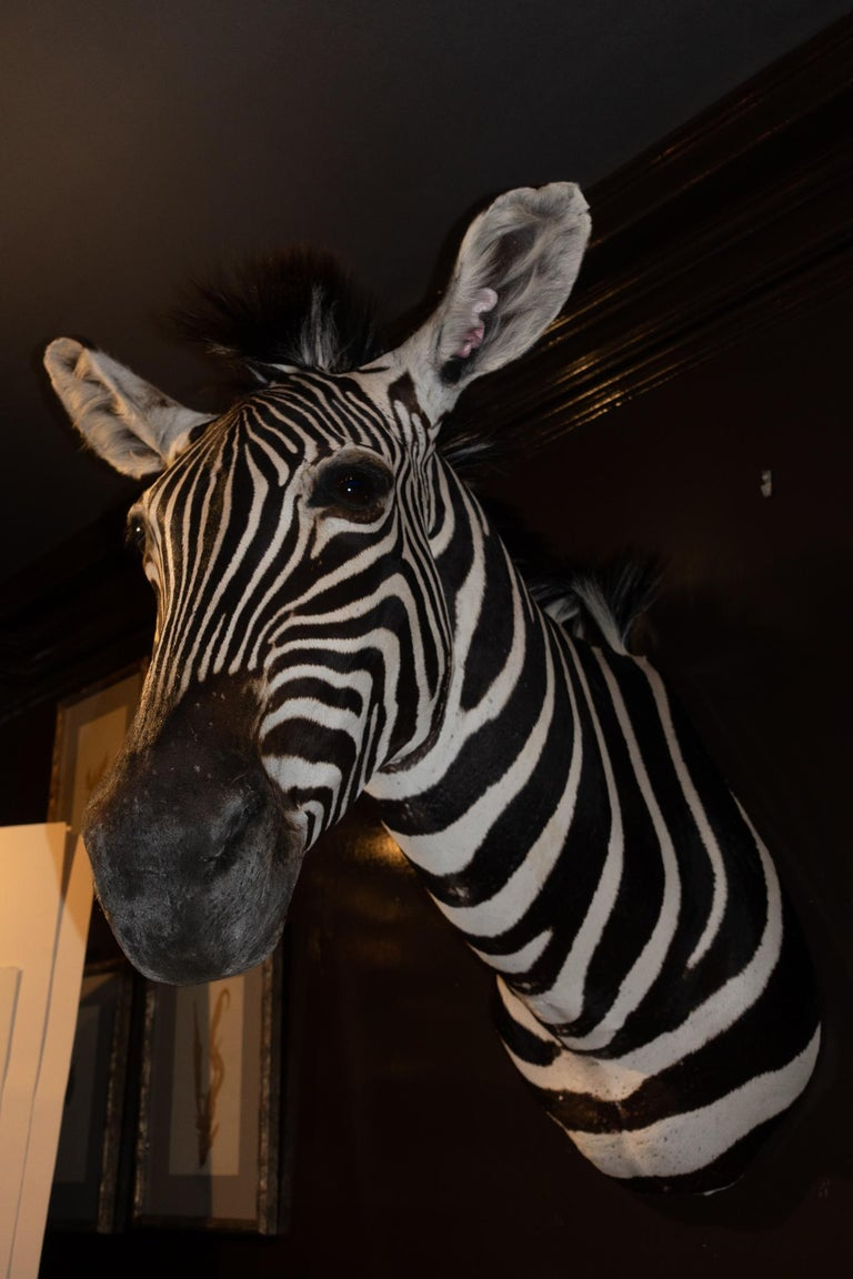 Victorian Premier Quality Taxidermy Burchell's Zebra Shoulder Mount from South Africa For Sale