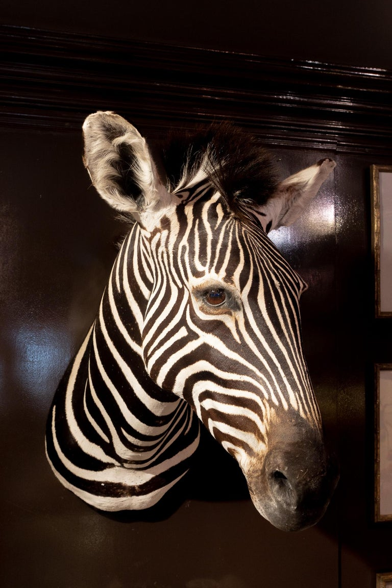 Premier Quality Taxidermy Burchell's Zebra Shoulder Mount from South Africa In Excellent Condition For Sale In New York, NY