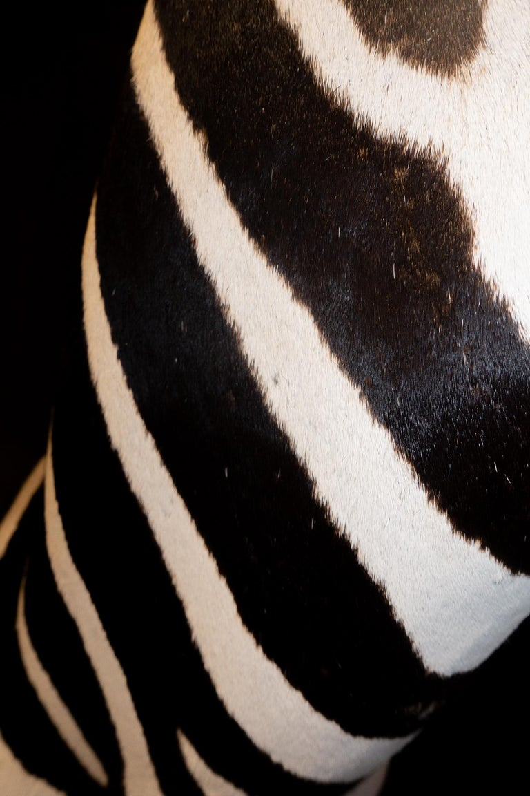 Fur Premier Quality Taxidermy Burchell's Zebra Shoulder Mount from South Africa For Sale