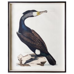 Prideaux John Selby Large Hand-Colored Copper Plate Engraving of a Cormorant