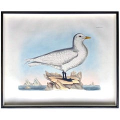 Prideaux John Selby Large Hand Colored Copper Plate Engraving of a Seagull